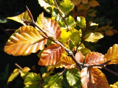 October - autumn colour on the new beech hedge