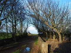 Turning for home through a tunnel of wind-sculpted sycamores