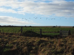 A flight of oystercatchers over pasture next to the railway line