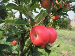 Sweet and picture book red Discovery - ready for eating in late August