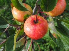 Sunset apples ready for picking in October - a Cox-type eating apple that keeps well until Christmas