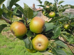 Ashmead's Kernel in August - picked in November and stored in a cold shed the apples are perfect for eating now and are said to keep til March