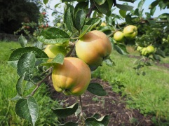 Keswick Codlin - a thin-skinned apple with a fizz on your tongue like sherbet - perfect straight from the tree in September
