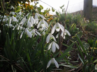 You have to get down low to appreciate the details of the delicate snowdrop flowers