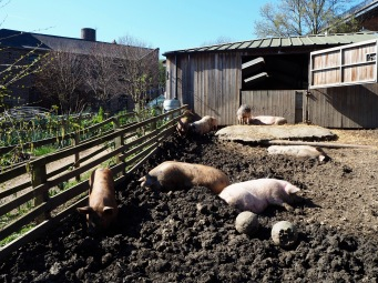 Ouseburn City Farm occupies the reclaimed site of an old lead works - the pigs, goats and chicken look right at home in the city