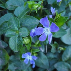 The evergreen periwinkle has been carrying a few flowers since New Year - spring is just more of the same