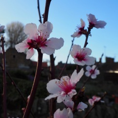 The first flowers on our newly planted almond tree