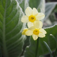 Miniature daffodils among oversized mullein leaves