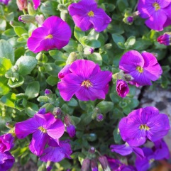 Individual aubretia flowers are unremarkable but en masse their brilliant colour is unmissable