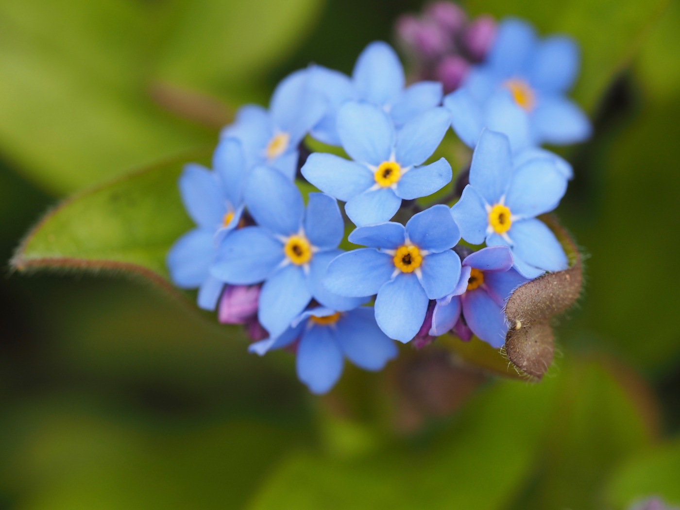 plant portrait - forget-me-not close up