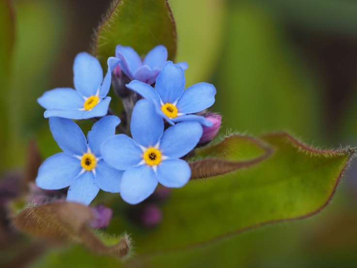 plant portrait - close up of forget-me-not flowers