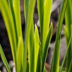 plant portrait - crocosmia leaves