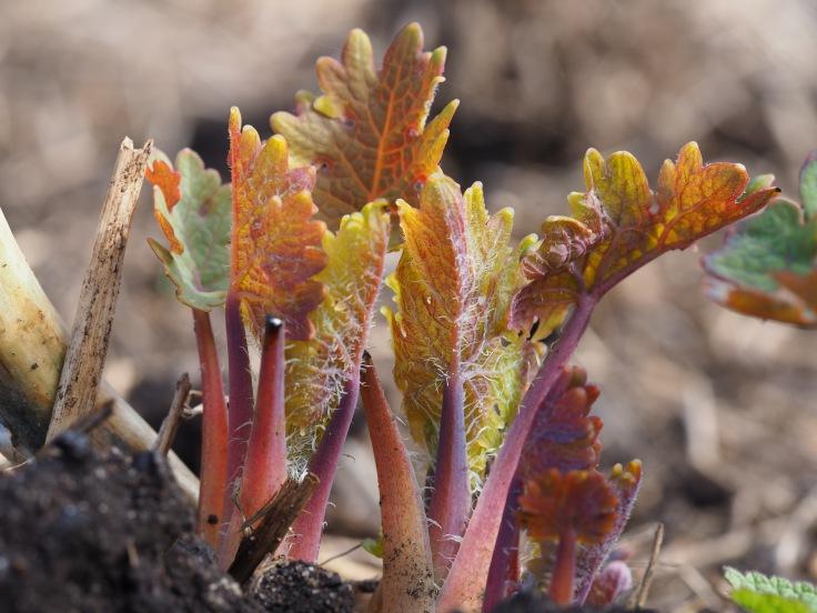 plant portrait - new shoots of Macleya