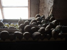 potatoes chitting in Fllors Castle potting shed - illustration of garden techniques