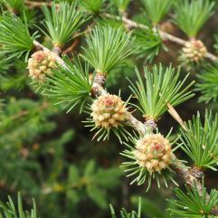 Larch 'roses' and soft new needles