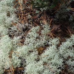 Reindeer moss (which is actually a lichen) drifts over a carpet of fallen pine needles