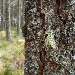Lichen adds layers of texture to the bark of forest trees