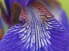 The curving lines of an iris petal guide pollinating insects into the depths of the flower