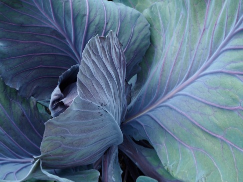 Cabbage leaves curve protectively around the central heart