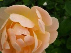 A rose in the rain - July