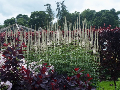 but no less drama - here tall spikes of Veronicastrum stand out against a dark hedge of purple leaved plum