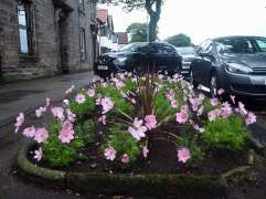 contrasts with a bold planting of annual pink cosmos