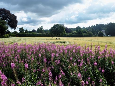 Barley and Willowherb - July