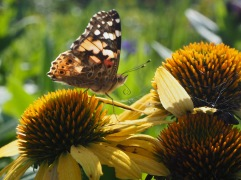Painted Lady - August 2019