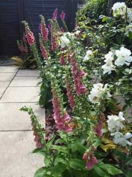 Foxgloves at the feet of a City of York climbing rose in July