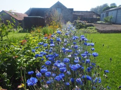 A handful of cornflower seed goes a long way - this river of blue has nearly drowned the new beech hedge