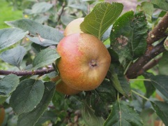 Ashmead's Kernel is a good keeper - picked in October these will store well into the new year