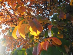 Autumn colours - Jardin des Plantes - November 2018