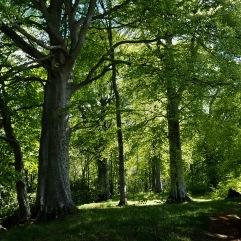 Beech wood near Cromarty - May