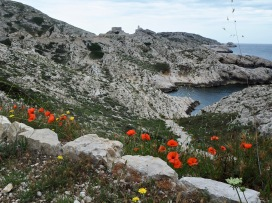 Poppies on the island of Pomègues - June 2018