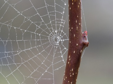 Spherical dewdrops caught in a spider's web capture the stillness of a misty morning...