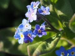 Forget-me-not blue - Spittal - March 28th 2020
