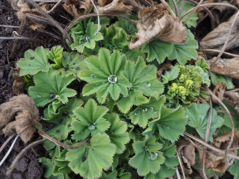 New alchemilla leaves catch raindrops from the lightest shower