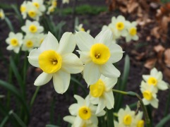 Tiny Narcissus 'Minnow' looks delicate but stands up to any weather