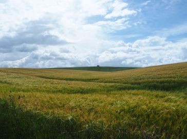 A wide expanse of ripening barley, a short walk from Spittal - June 2020