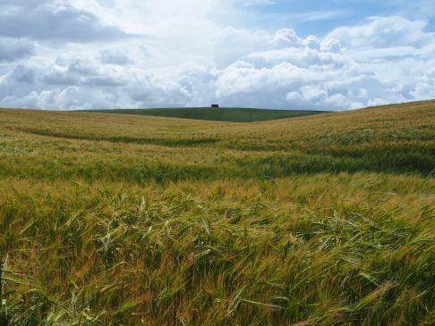 Ripening barley in June sunshine