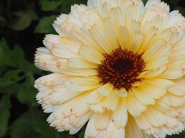 Calendula - or pot marigolds - are pretty in the garden but short-lived in a vase