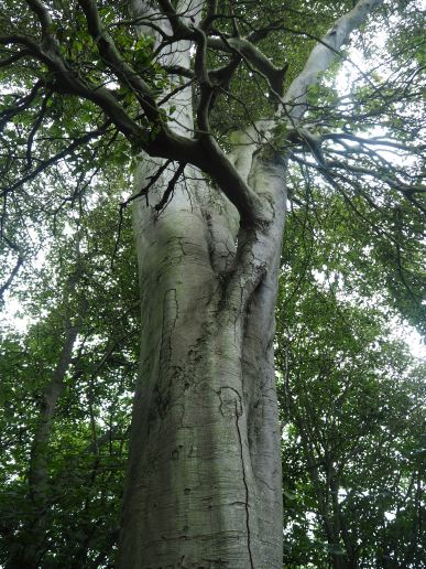 Beech trees by the Tweed - August 2020