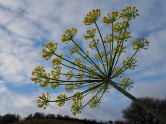 Late dill flowers - November 2019