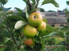 The Golden Pippin fruit are small with russet freckles - this old English multi-purpose apple is mentioned in a gardening manual dating from 1629