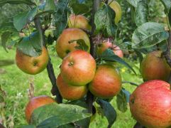 Laxton's Fortune - introduced in the early 20th Century - is crisp and flavourful straight from the tree but it bruises easily and doesn't keep.