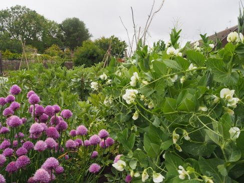 Peas, beans and chives - June