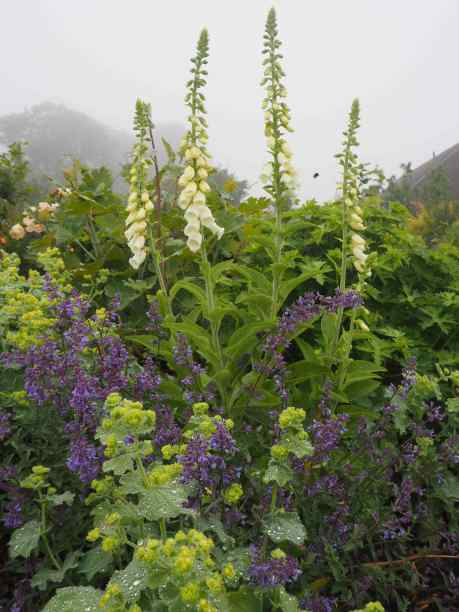Nepeta and alchemilla look good between showier plants in a border or a bouquet
