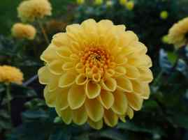 Sylvia dahlias are bright orange in August but soft yellow in October