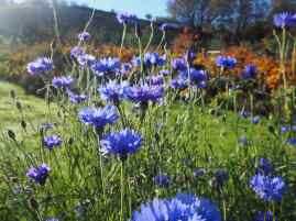 If you keep cutting cornflowers they'll keep flowering for months - these were still flowering in November