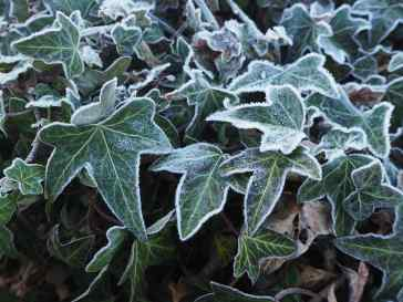 By contrast the overlapping shapes of frost-rimmed ivy suggest the stillness of a cold winter's day.